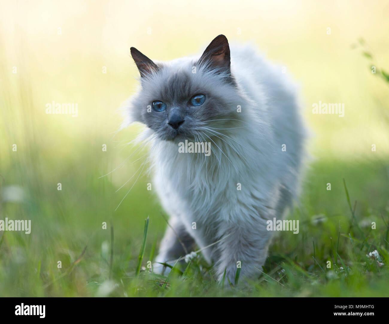 Gatto sacri di birmania. Il vecchio gatto a camminare su un prato, si vede in testa-a. Germania Immagini Stock