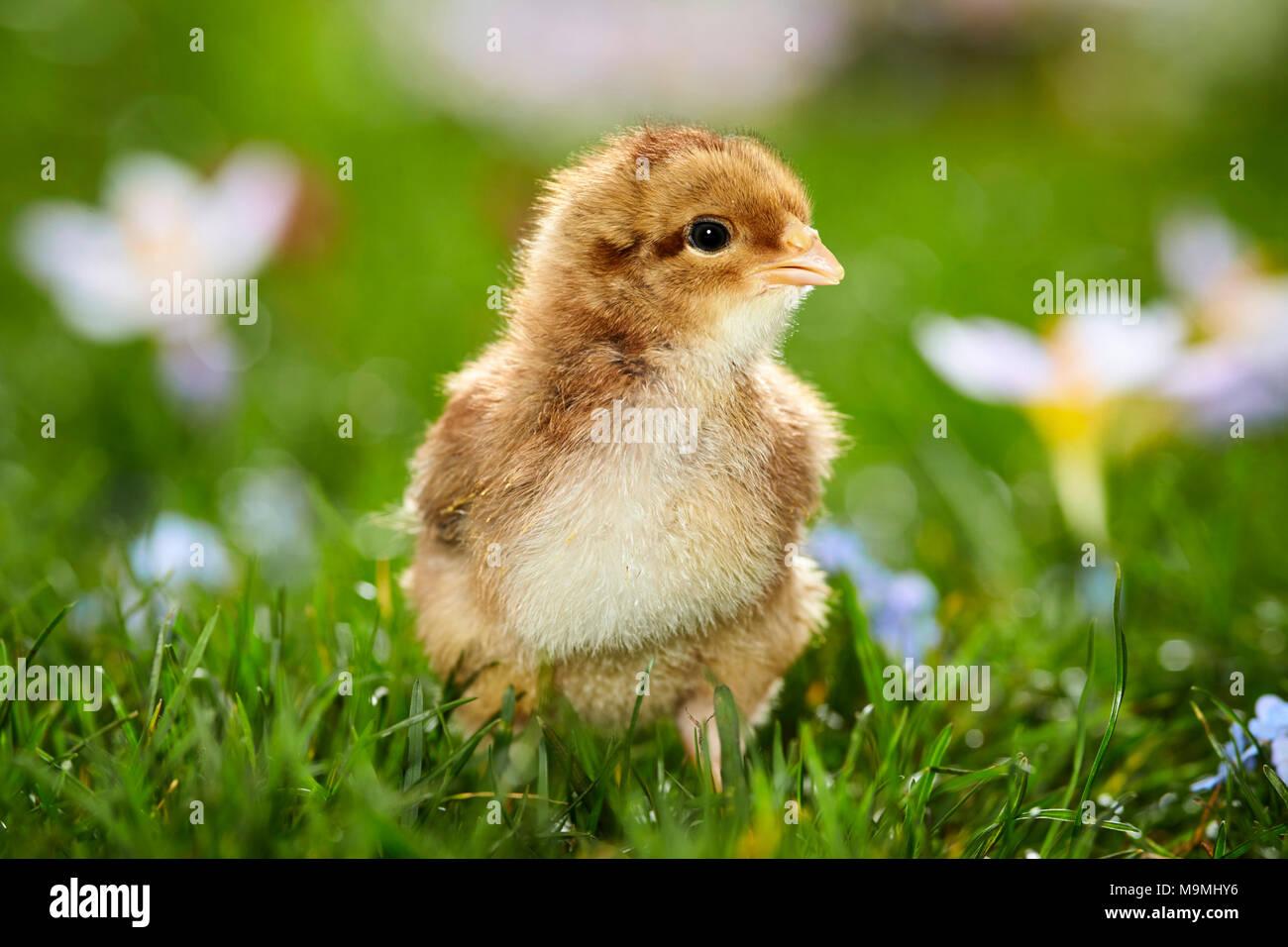 Welsummer pollo. Pollo in prato fiorito in primavera. Germania Immagini Stock