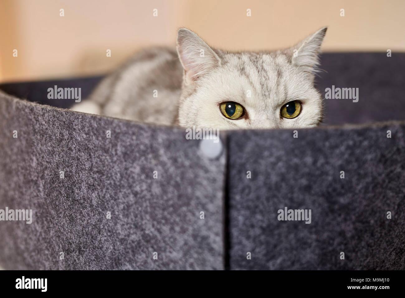 British Shorthair cat. Tabby adulto giacente lettino pet fatta di feltro. Germania Immagini Stock