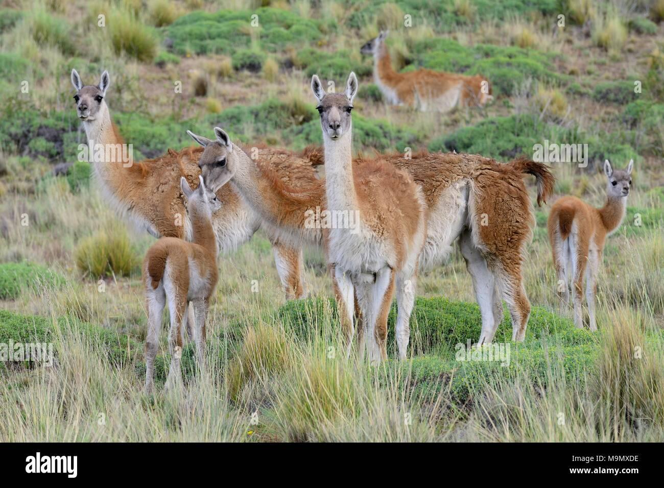 Gregge di guanaco (Lama guanicoe) con animali giovani, Valle Chacabuco, Región de Aysén, Cile Immagini Stock