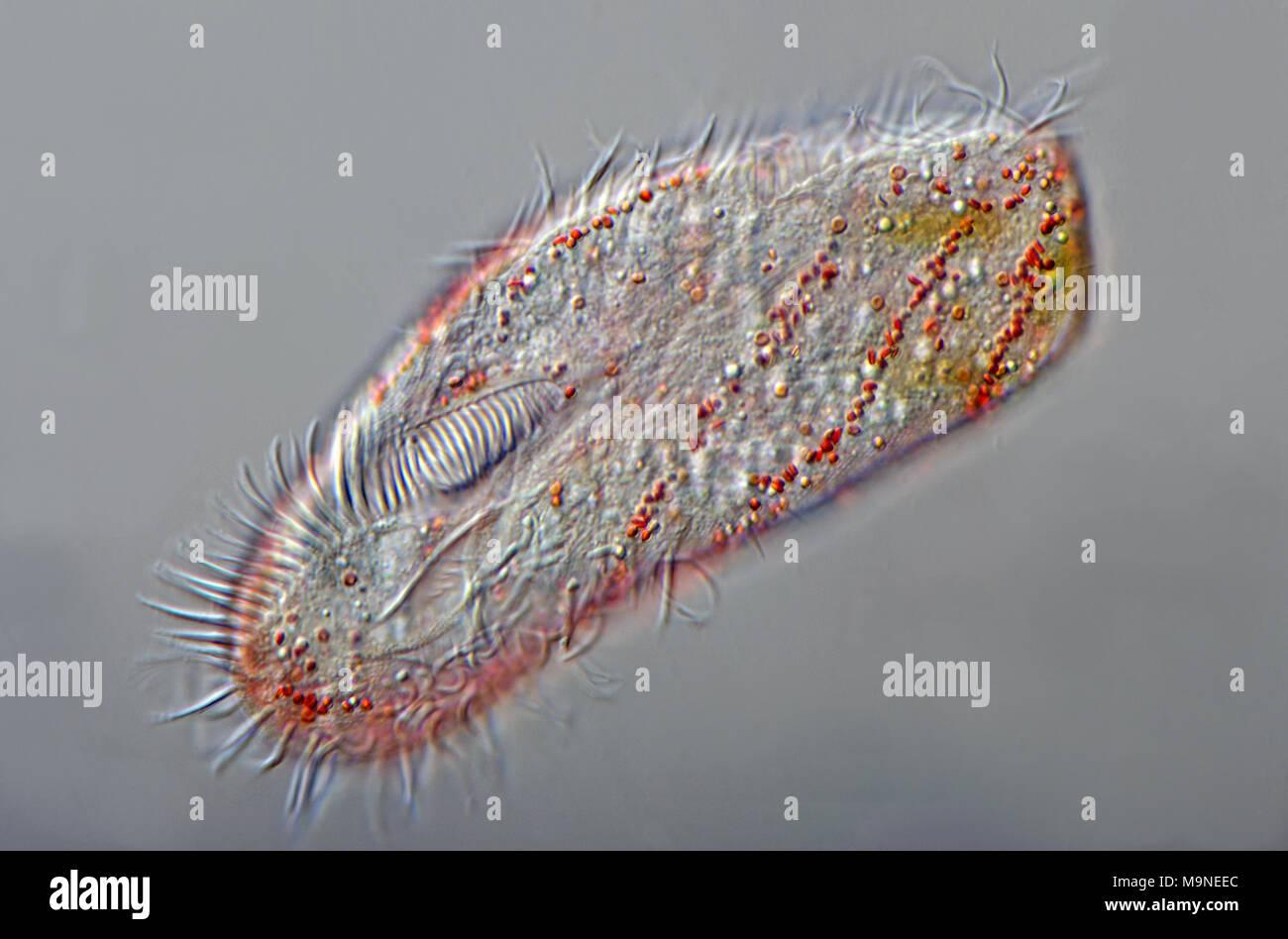 Il marine ciliato Pseudokeronopsis multinucleata Immagini Stock