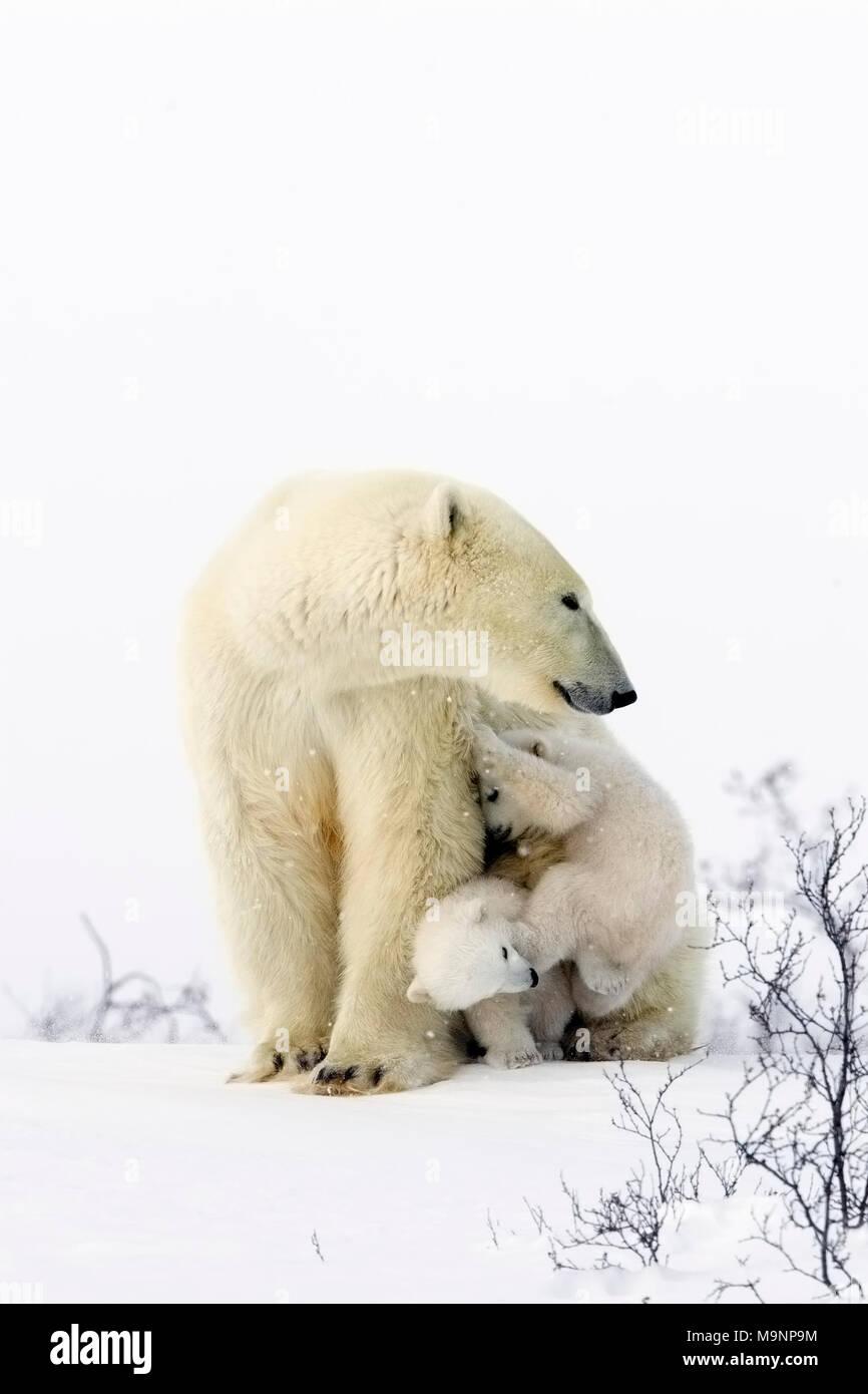 Orso polare Mom e giocoso cuccioli Immagini Stock