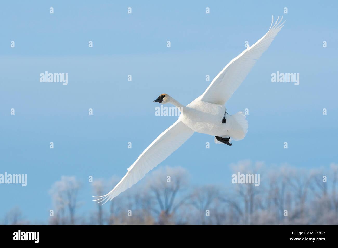 Trumpeter swan (Cygnus buccinatore) lo sbarco sul congelato St. Croix River. WI, Stati Uniti d'America, Gennaio, da Dominique Braud/Dembinsky Foto Assoc Immagini Stock