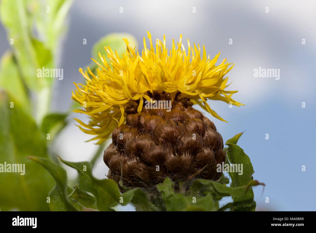 Bighead Fiordaliso, Gulklint (Centaurea macrocephala) Immagini Stock
