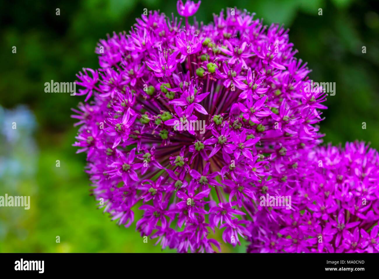 Fiori A Palla.Palla Rosa In Fiore Giardino Fiore Chiuso Aperto E Chiuso