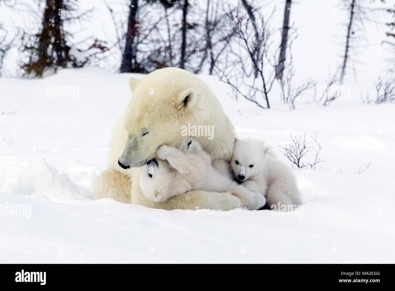 Orso polare Mom e lupetti Immagini Stock