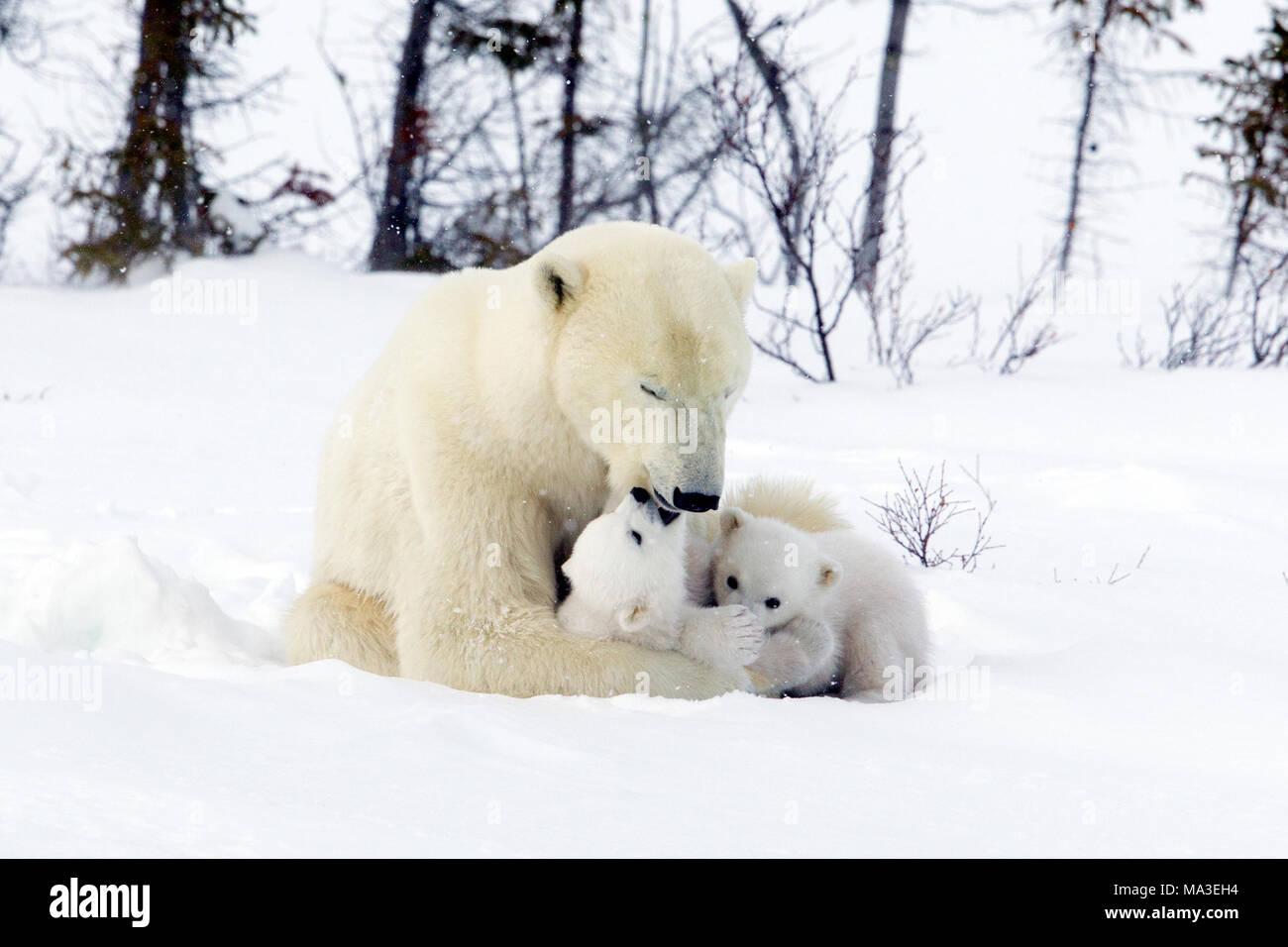 Orso polare Mom e lupetti Foto Stock
