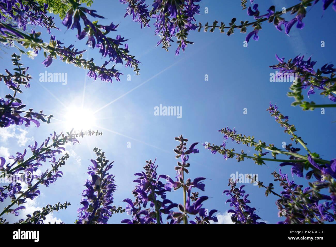 Prato salvia, Salvia pratensis, visto da sotto Immagini Stock