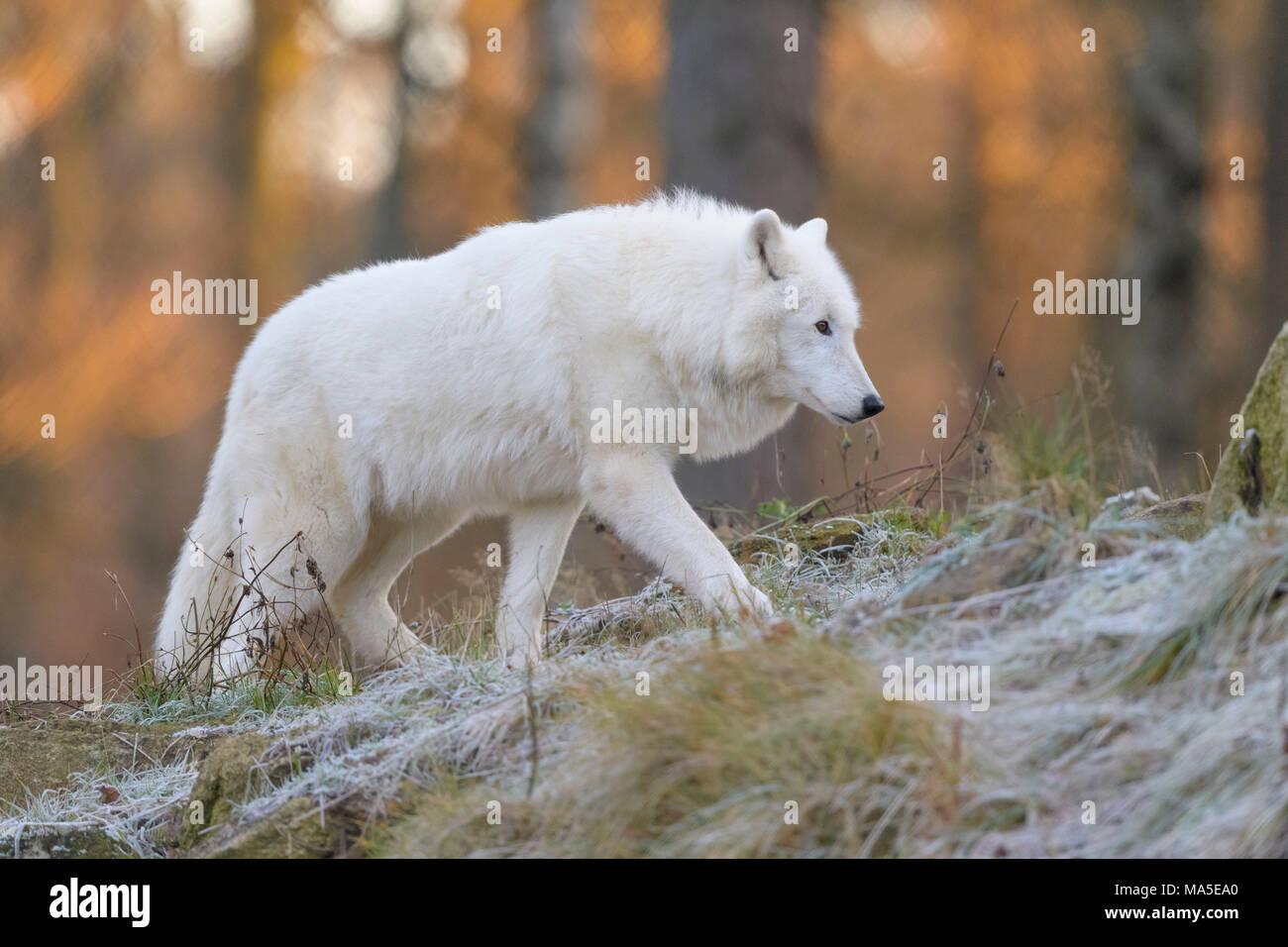 Arctic Wolf, Polar Wolf, Canis lupus arctos, in inverno, Germania Immagini Stock