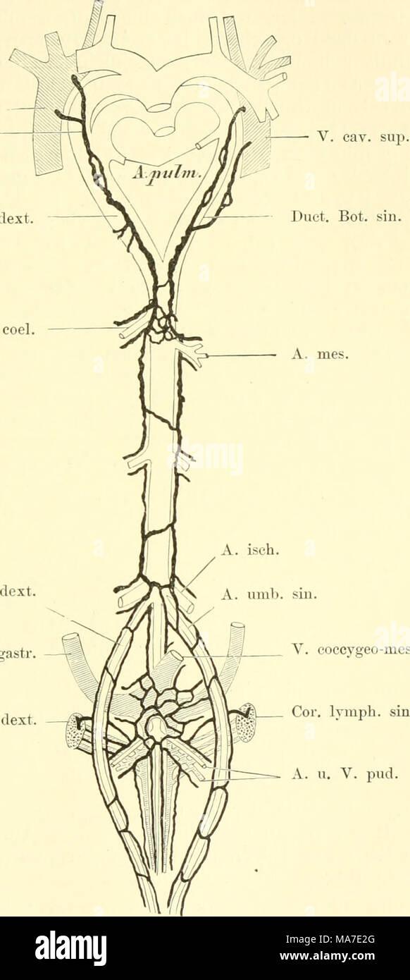 Niedlich Vergleichende Anatomie Von Vertebraten Kreislaufsystem ...