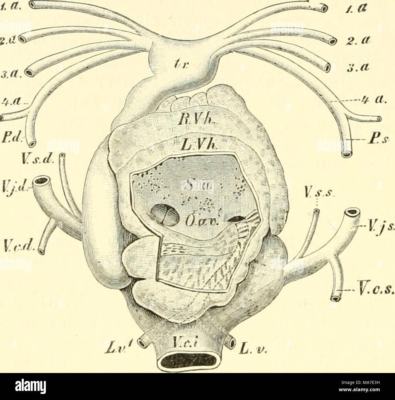 Ausgezeichnet Rechten Vorhofs Fotos - Anatomie Und Physiologie ...