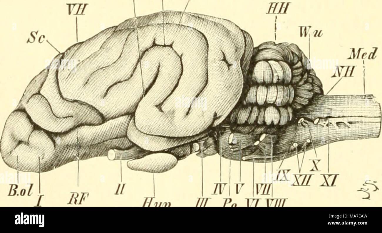Tolle Anatomie Und Physiologie Des Gehirns Ppt Galerie - Menschliche ...