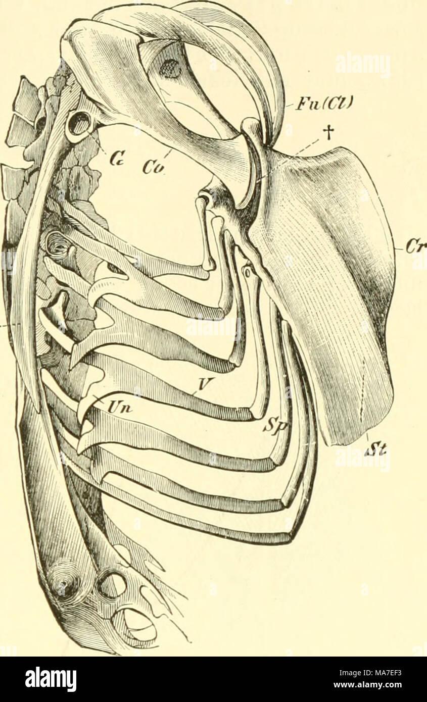 Beste Vergleichende Anatomie Des Atmungssystems Von Vertebraten ...