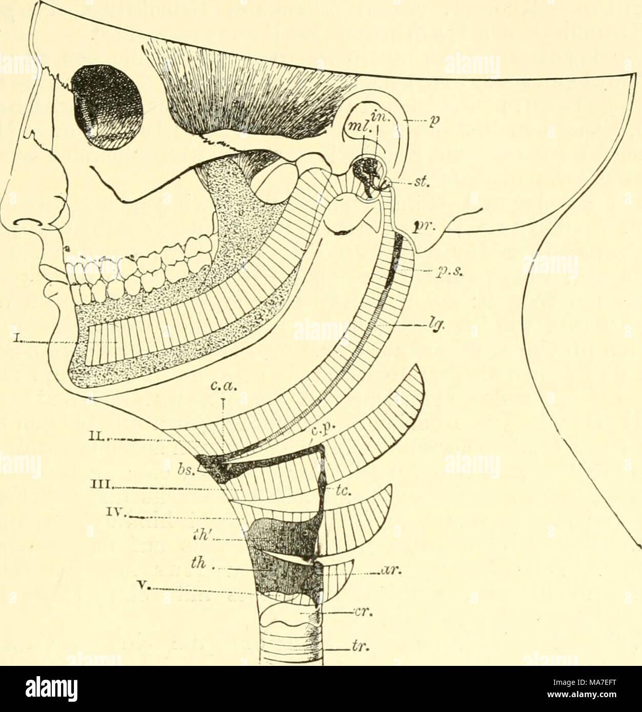 Ziemlich Funktionelle Anatomie Des Vertebraten Evolutionäre Sicht ...