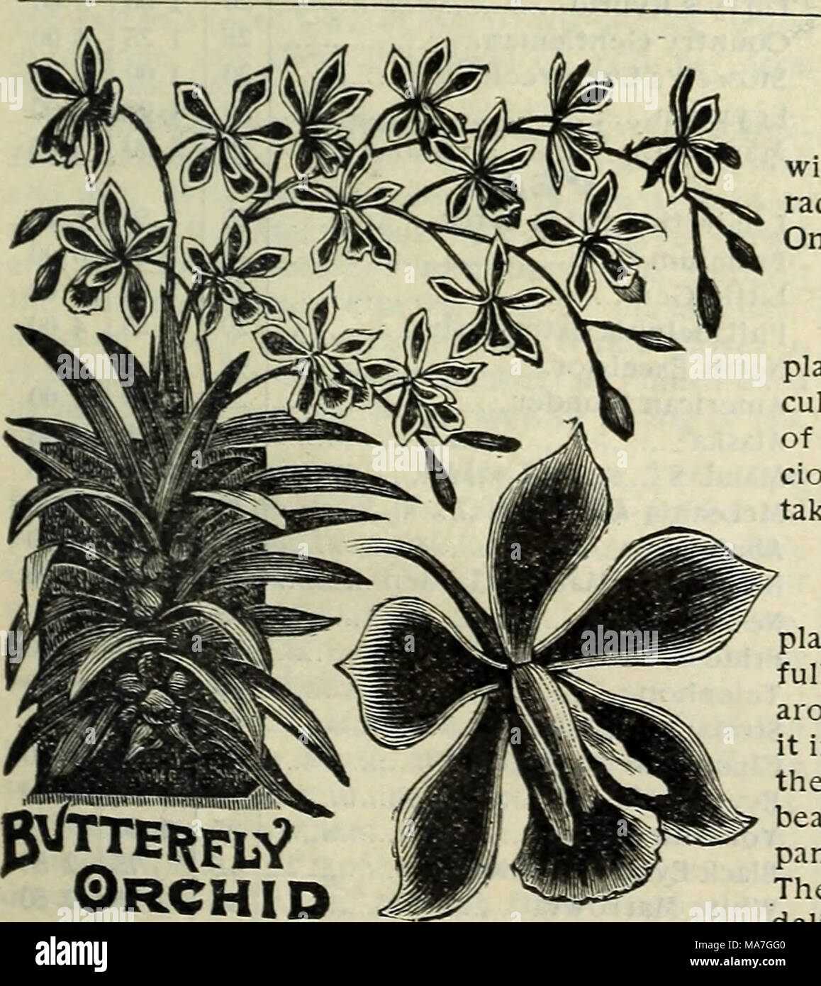E H Hunt Seedsman Vitigno Di Madeira Una Bella Crescita