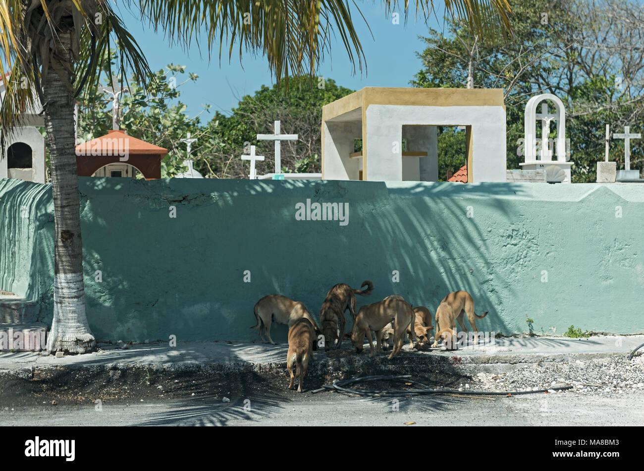 I cani di strada di fronte a un muro del cimitero in Progreso, Messico Immagini Stock