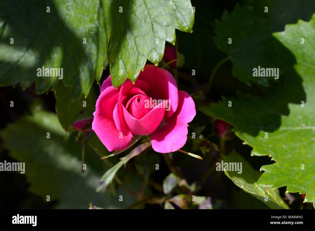 Bella rosa rosa Close-up, Macro, Natura Immagini Stock