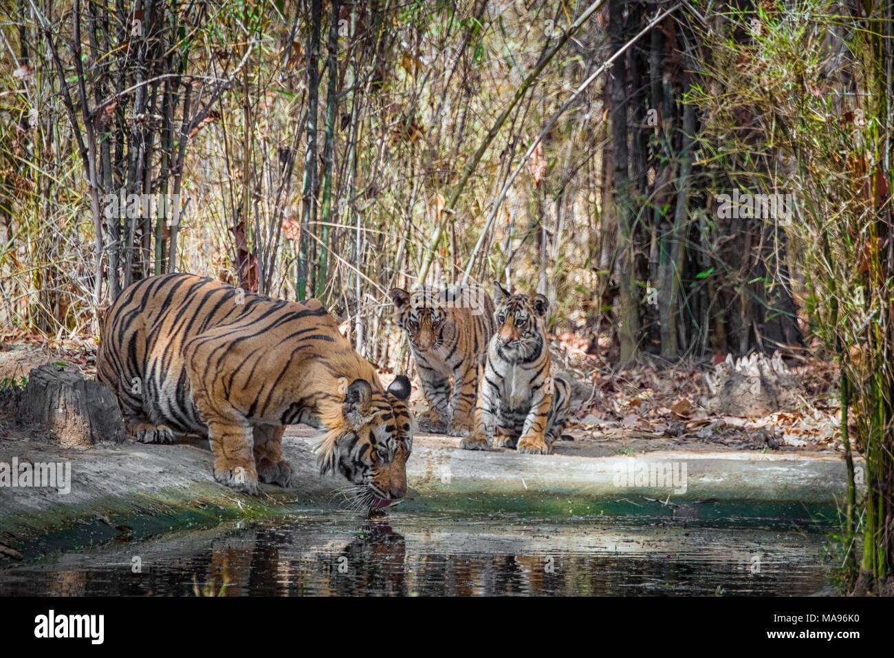 Due graziosi poco di due mesi di età il Bengala cuccioli di tigre, Panthera tigri tigri, guardando un maschio adulto padre bere, Bandhavgarh Riserva della Tigre, India Immagini Stock