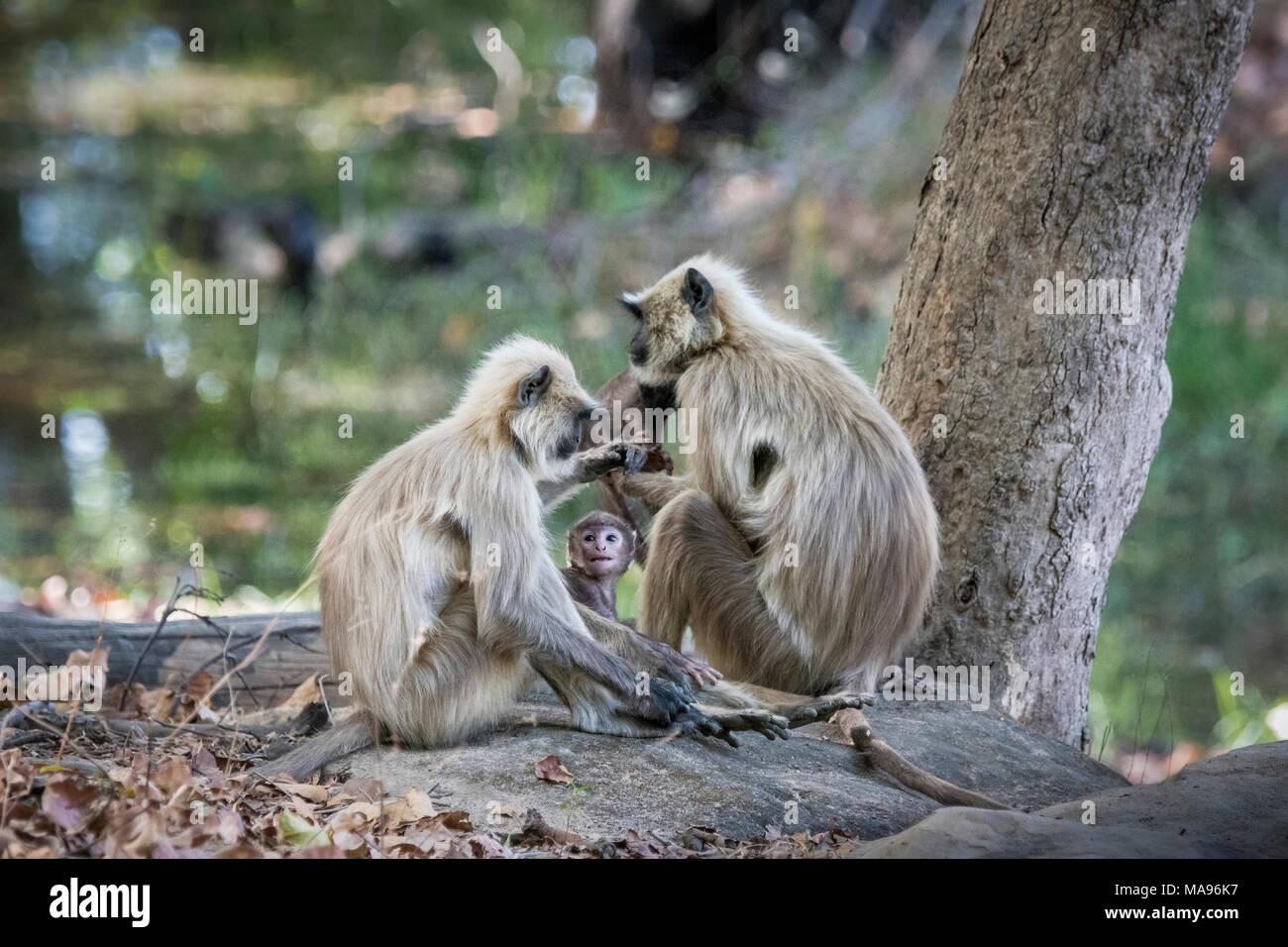 Famiglia di wild Langurs grigio o Hanuman Langurs, Semnopithecus, con piccolo bambino guardando con amore, Bandhavgarh National Park, Madhya Pradesh, India Immagini Stock