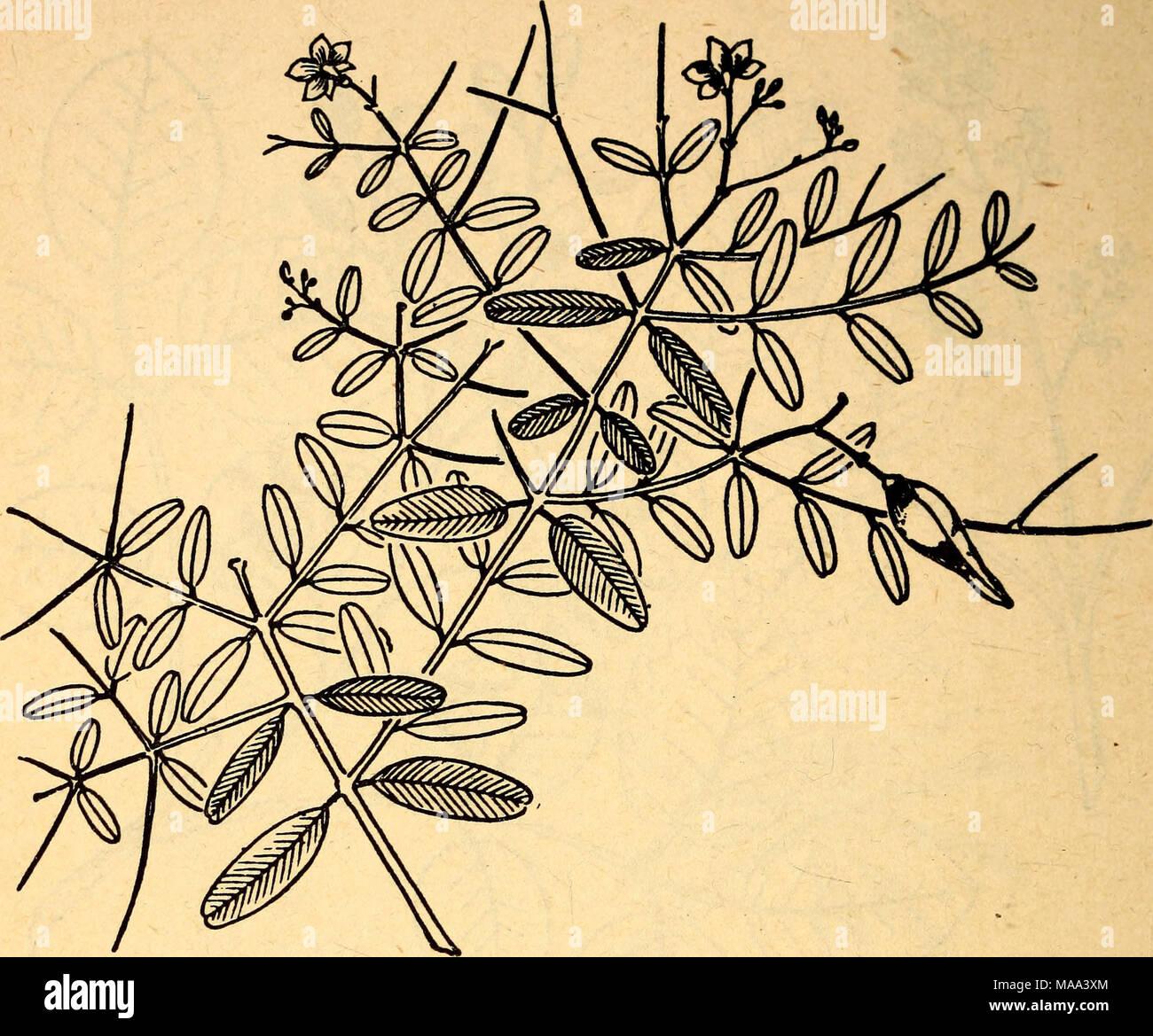 Albero Della Fortuna Pianta commestibili e piante velenose della regione dei caraibi