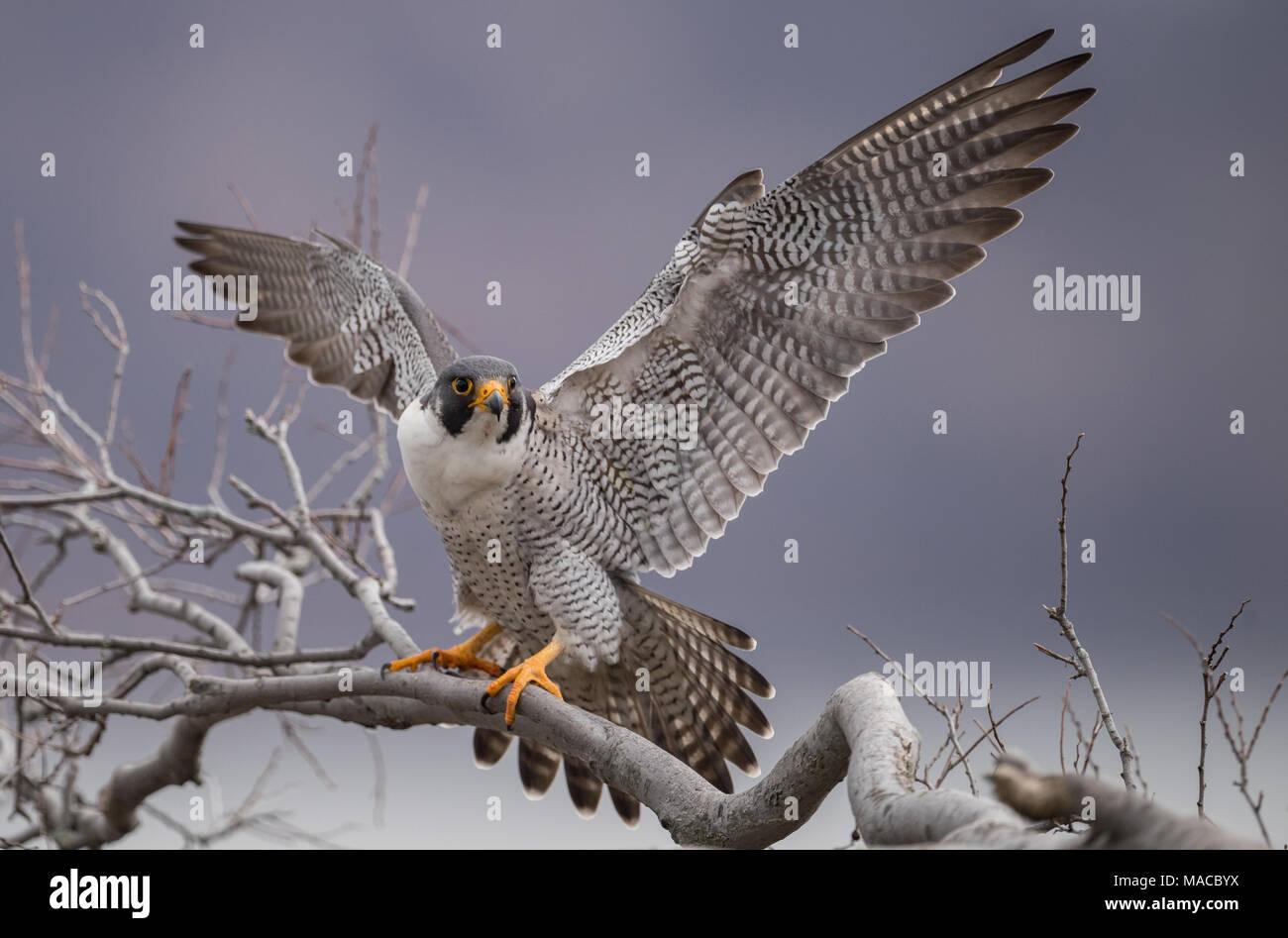 Falco pellegrino Immagini Stock