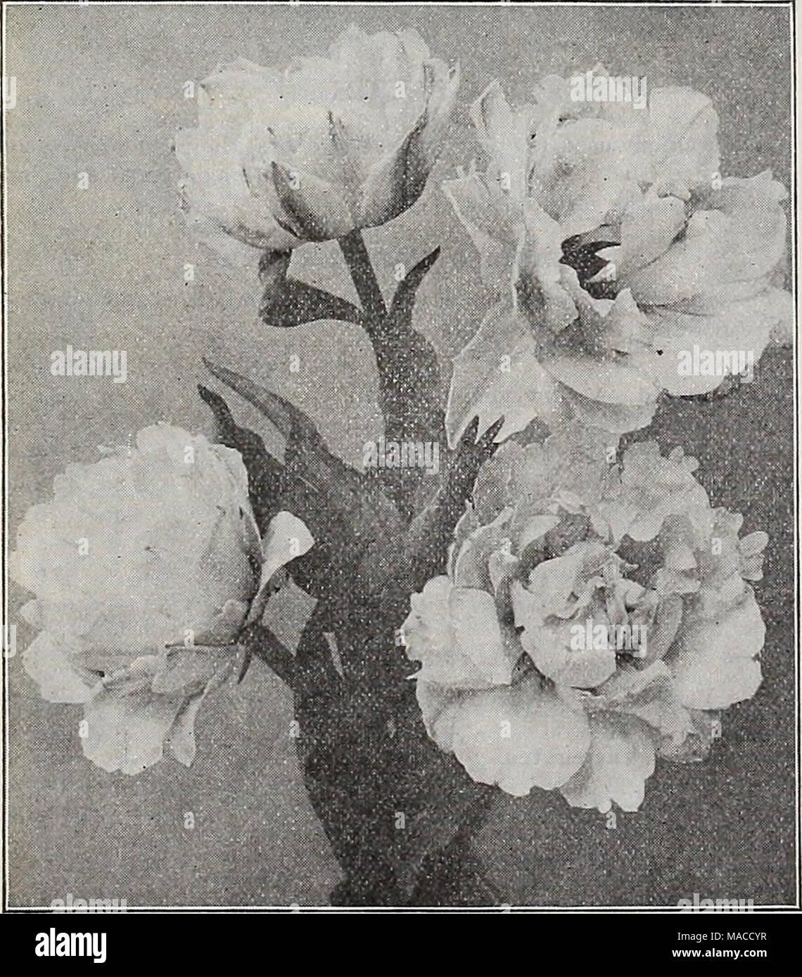 . Dreer all'ingrosso listino prezzi : i semi per fioristi impianti per fioristi lampadine per fioristi semi vegetali, fungicidi, fertilizzanti, insetticidi, attrezzi, Sundries, etc . Unico primi tulipani KAISER KROON Rose Qrisdlein. Rosa delicato, fine per la forzatura e la biancheria da letto ... Standard di argento. Bianco, crimson striped .... Sir Thos. Lipton. Il più ricco di tutti i tulipani scarlatto, extra fine iVloore Thomas. Arancio brillante, ammenda Van Der Neer. Rosy viola, distinte e abbastanza . Vermiglio brillante. Vermiglio scarlatto, belle . . White Hawk (Albion). Un bel bianco puro o bedder forzatore ... Wouverman. Violetto, f Foto Stock