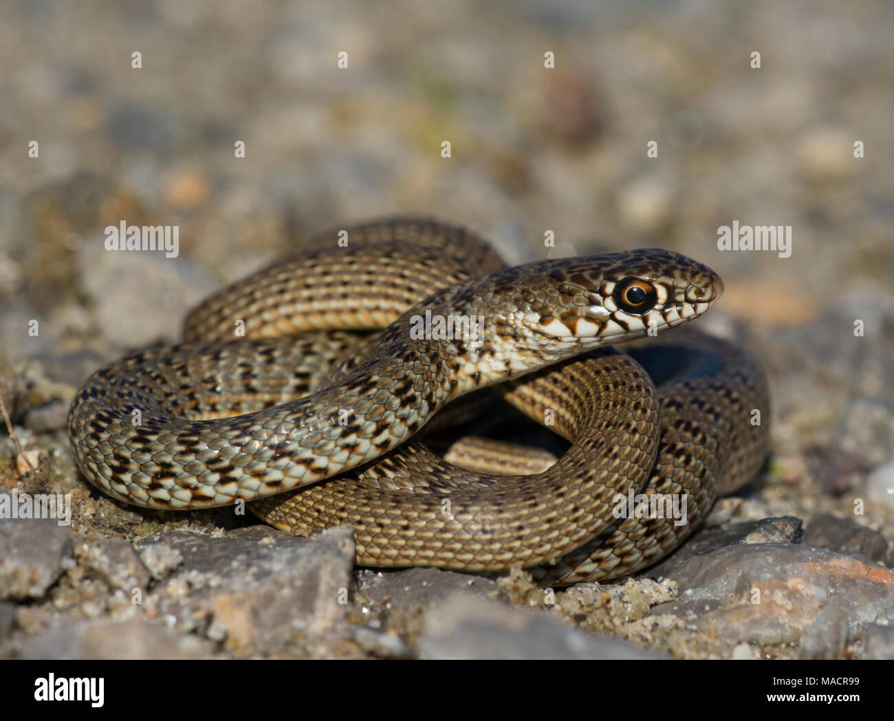 Species Of Greece Immagini e Fotos Stock Alamy