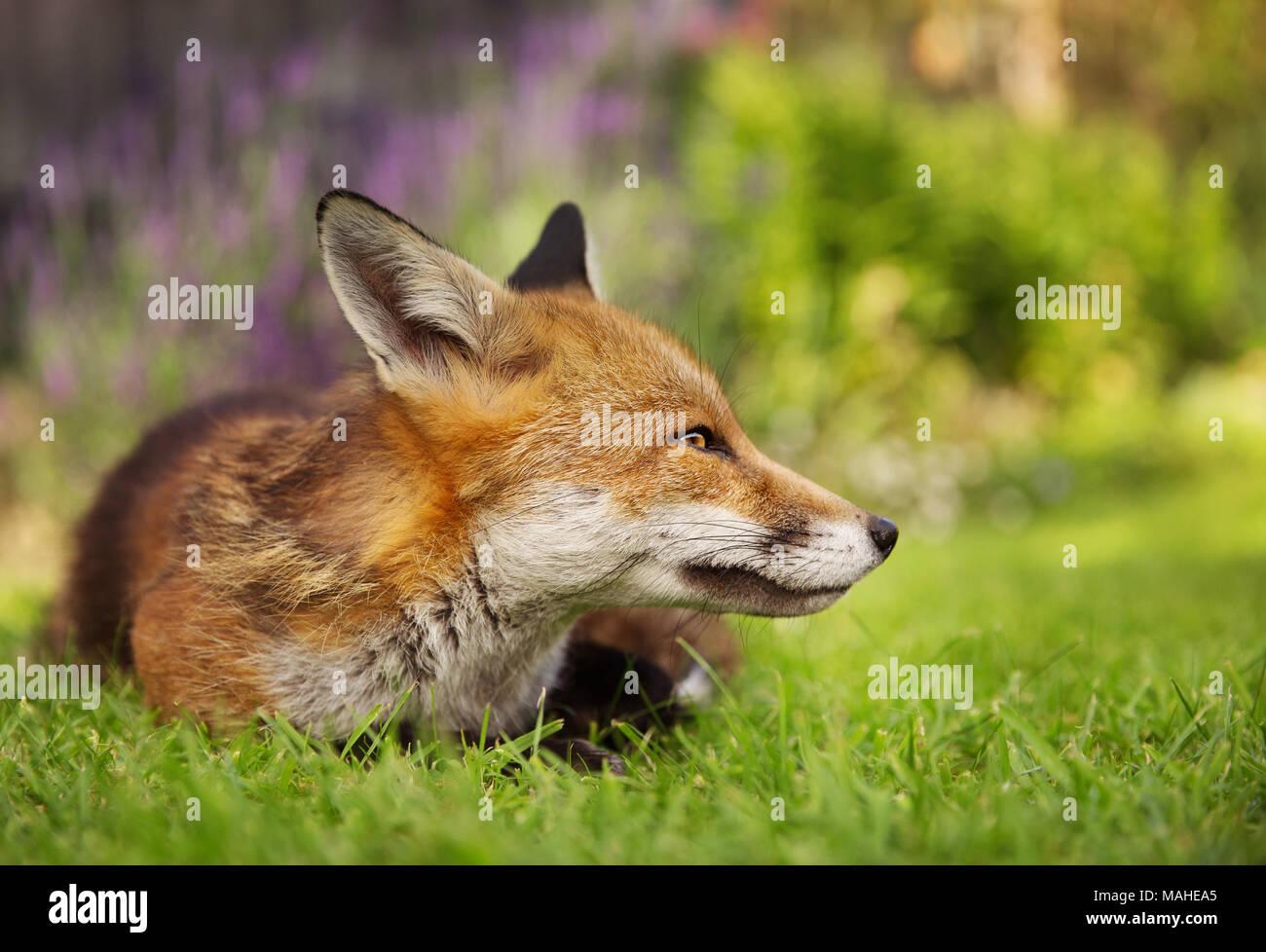 Red Fox giacente nel giardino con fiori, estate nel Regno Unito. Immagini Stock
