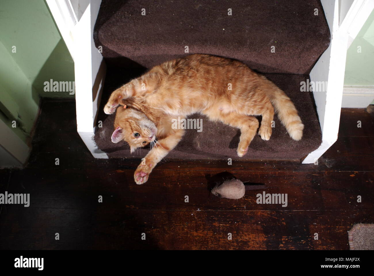 Lo zenzero cat giocando sulle scale Foto Stock