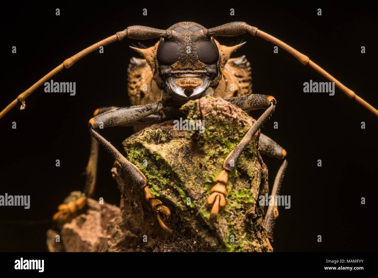 Un coleottero tropicale ritratto dalla giungla peruviana vicino Tarapoto, un impressionante beetle ancor di più quando visto da vicino. Immagini Stock