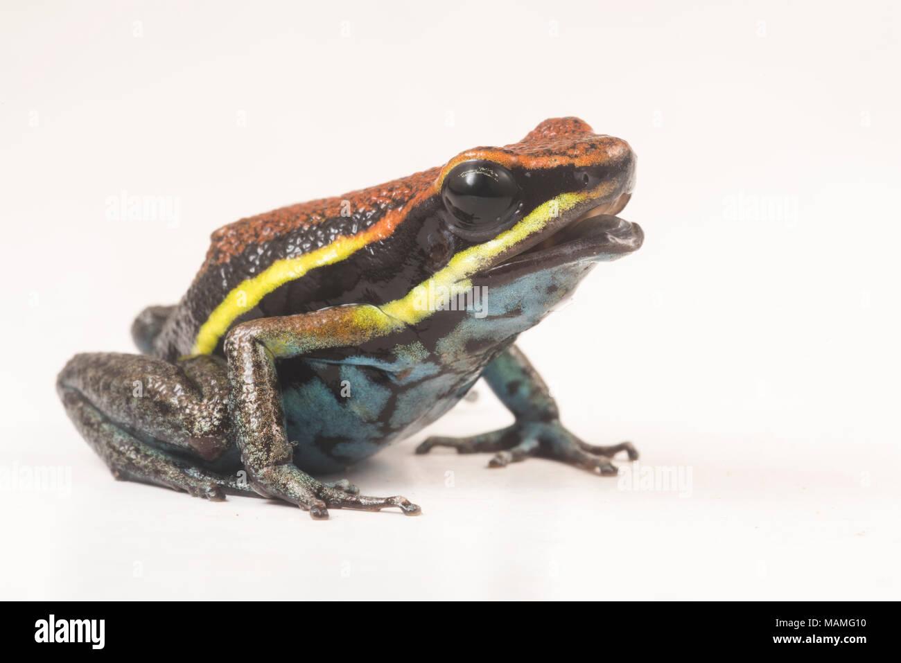Il veleno cainarachi frog (Ameerega cainarachi) così chiamato perché si trova solo nella valle del Cainarachi del Perù. Qui illustrato nella foto in bianco. Immagini Stock