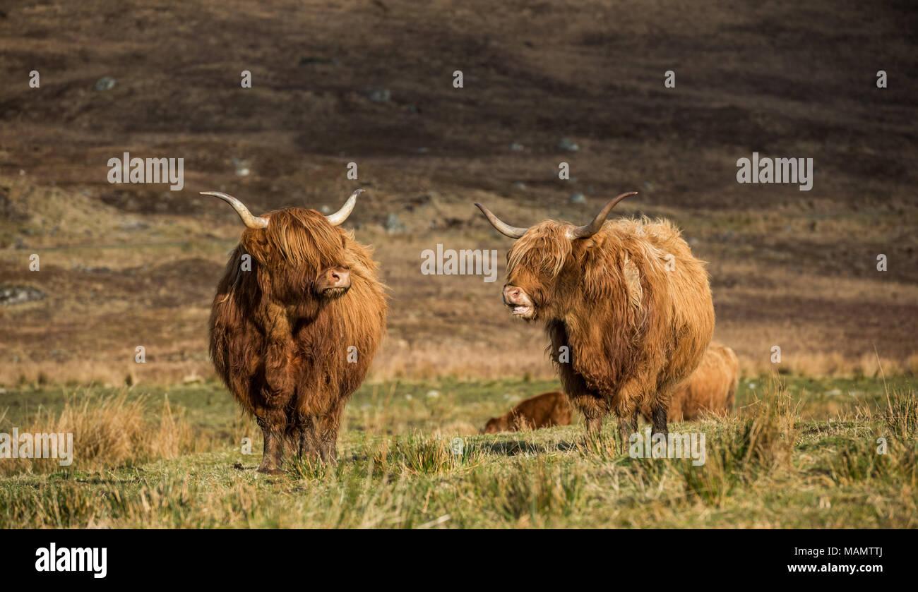 Highland bestiame al pascolo nei campi e godersi il sole primaverile nelle Highlands scozzesi Foto Stock