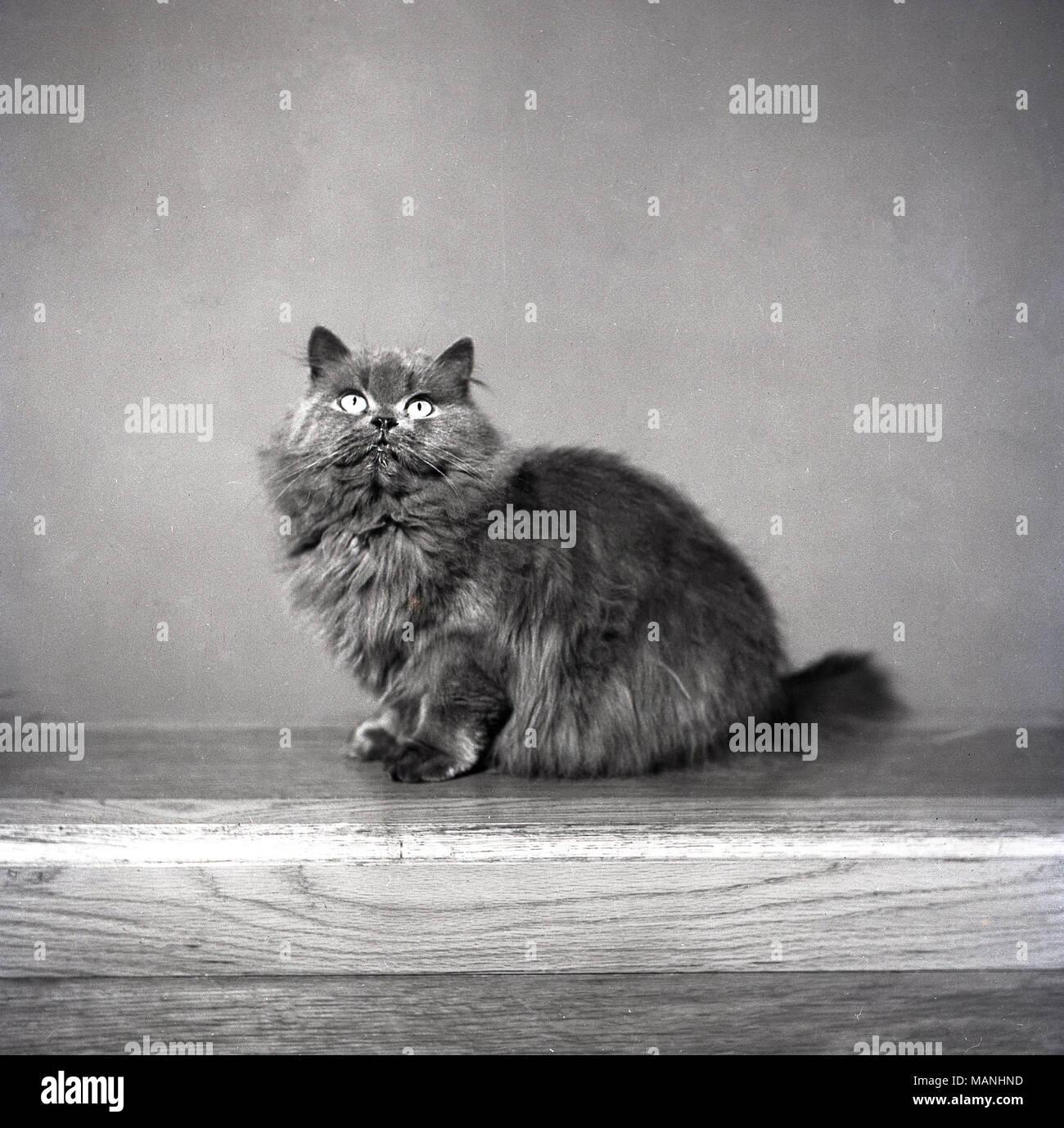 Degli anni Cinquanta, storico ritratto di una pelliccia gatto domestico. Immagini Stock