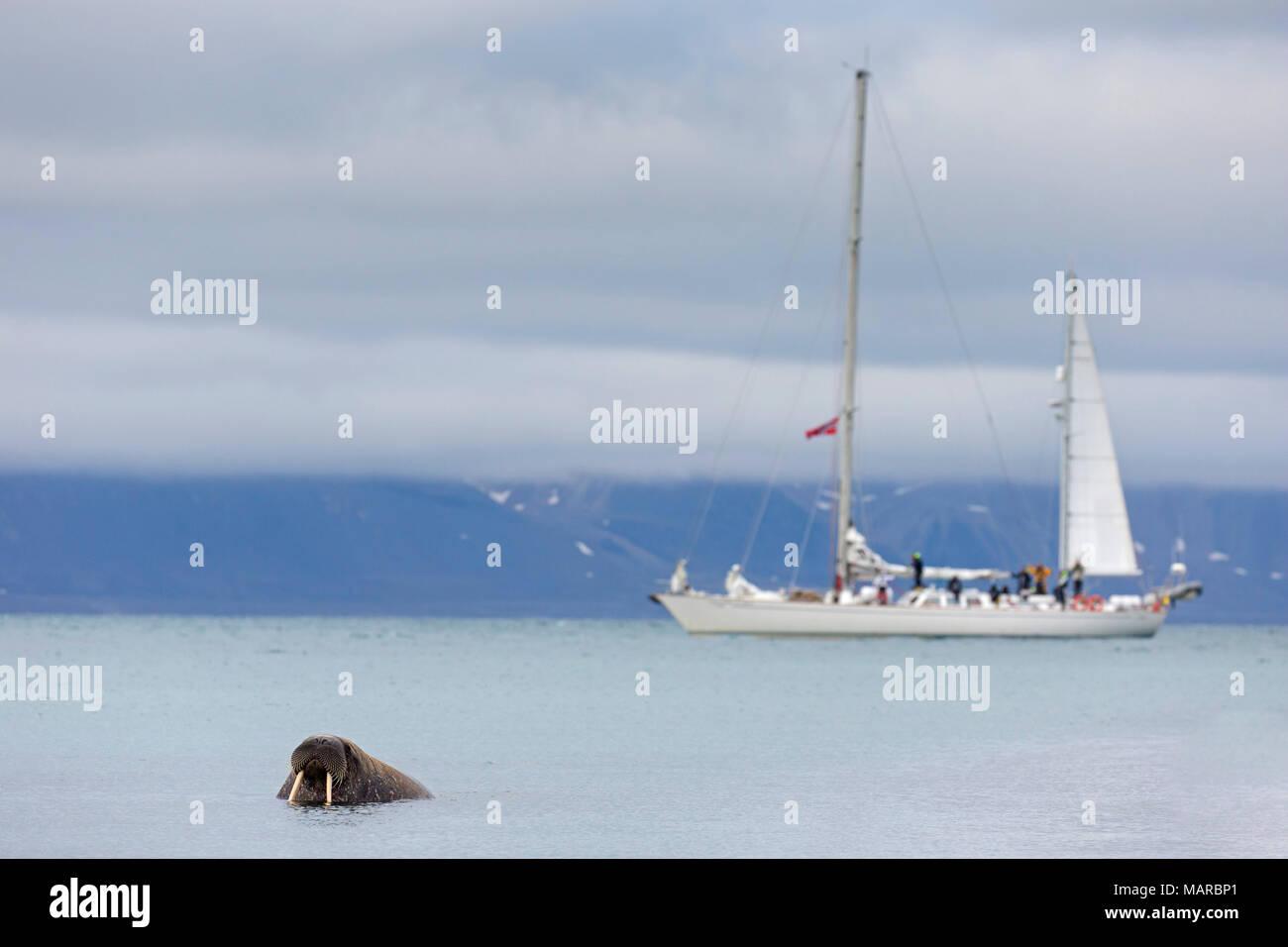 Atlantic tricheco (Odobenus rosmarus). Singolo individuo in acqua con barca a vela in background. Svalbard, Norvegia Foto Stock