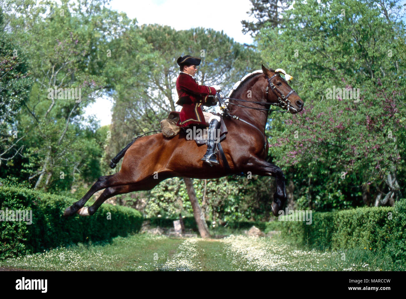 Alter Real. Bay adulto con rider eseguendo una capriole. Portogallo Immagini Stock