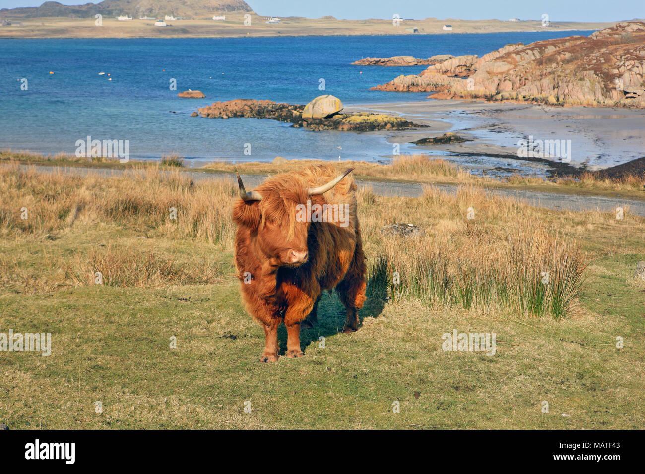 Highland mucca sopra la spiaggia di Fionnphort, Isle of Mull, con l'isola di Iona visibile in background. Immagini Stock