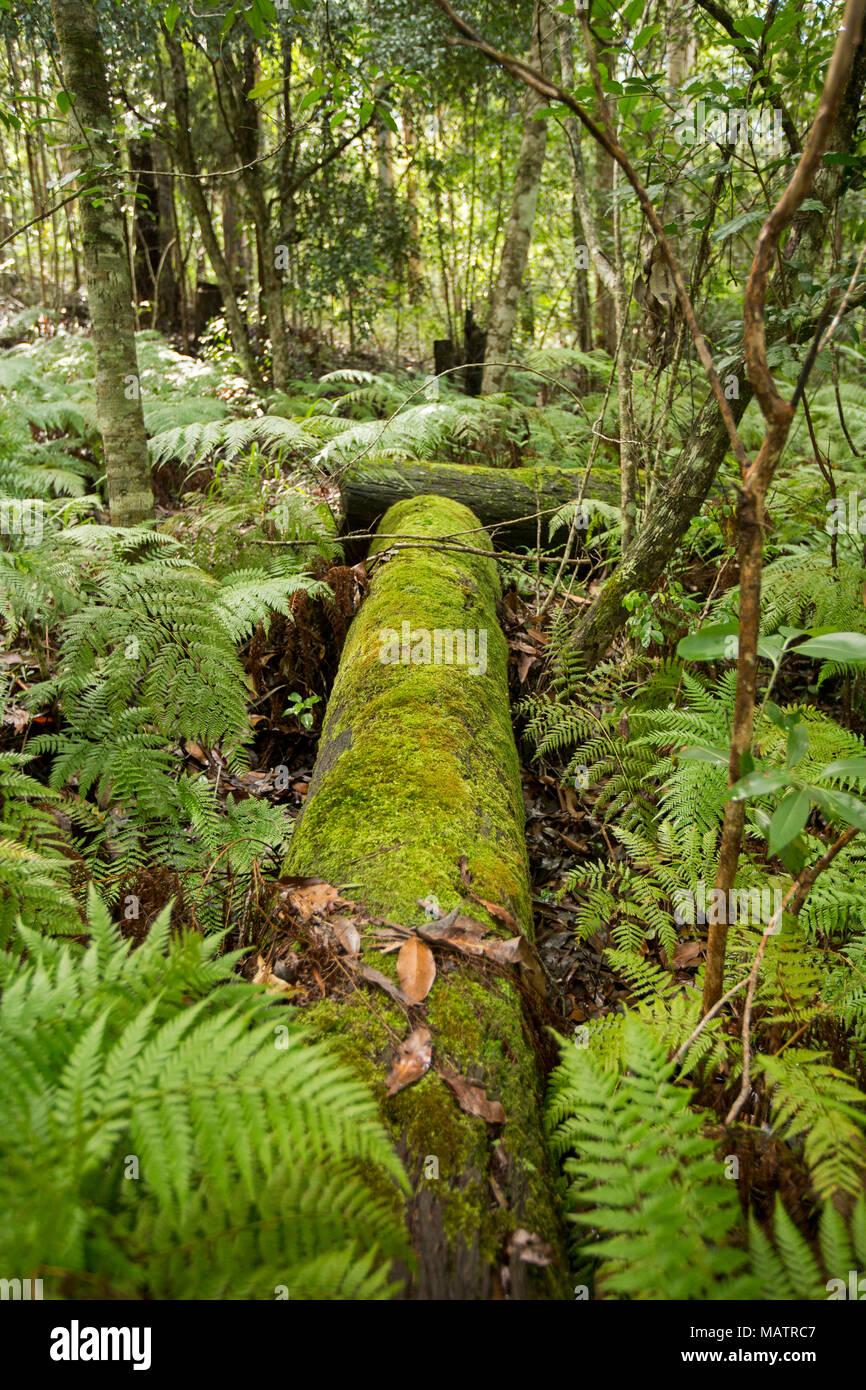 Moss ammantata log, smeraldo e le felci bracken tra foreste di gamme Conondale Parco Nazionale in Queensland Australia Immagini Stock