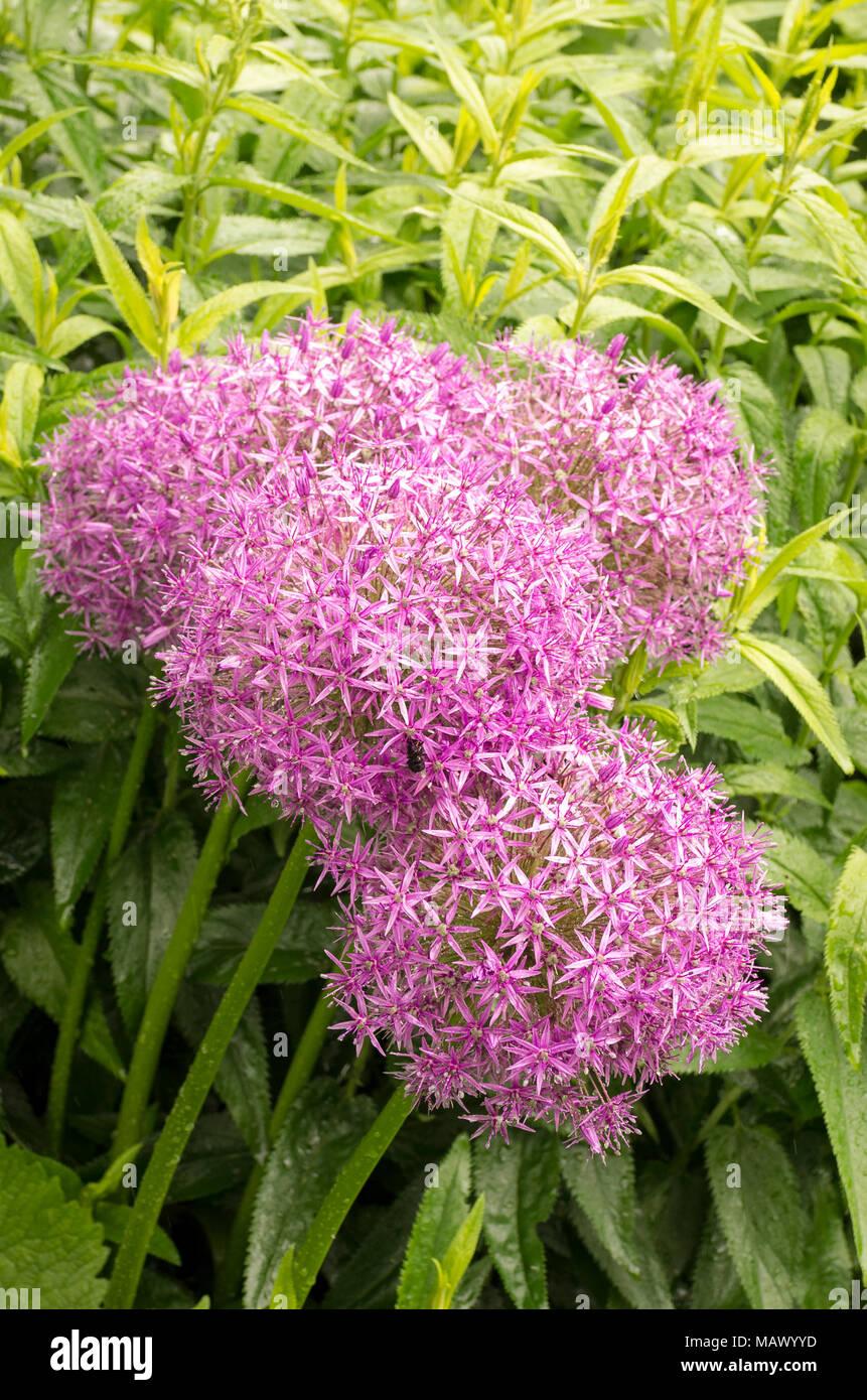 Fiori Del Mese Di Giugno impressionante allium globemaster in fiore nel mese di