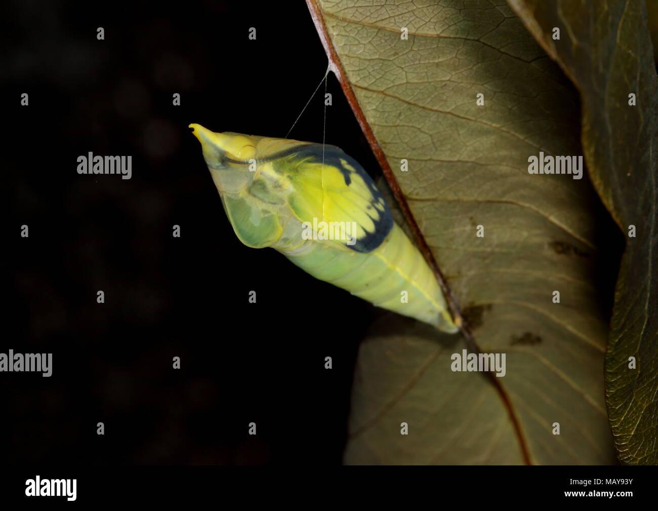 Coppia pupa dell'Emigrante comune o di limone emigrante butterfly con anta trasparente pad che mostra l'ampio bordo nero e macchie di cella. Immagini Stock