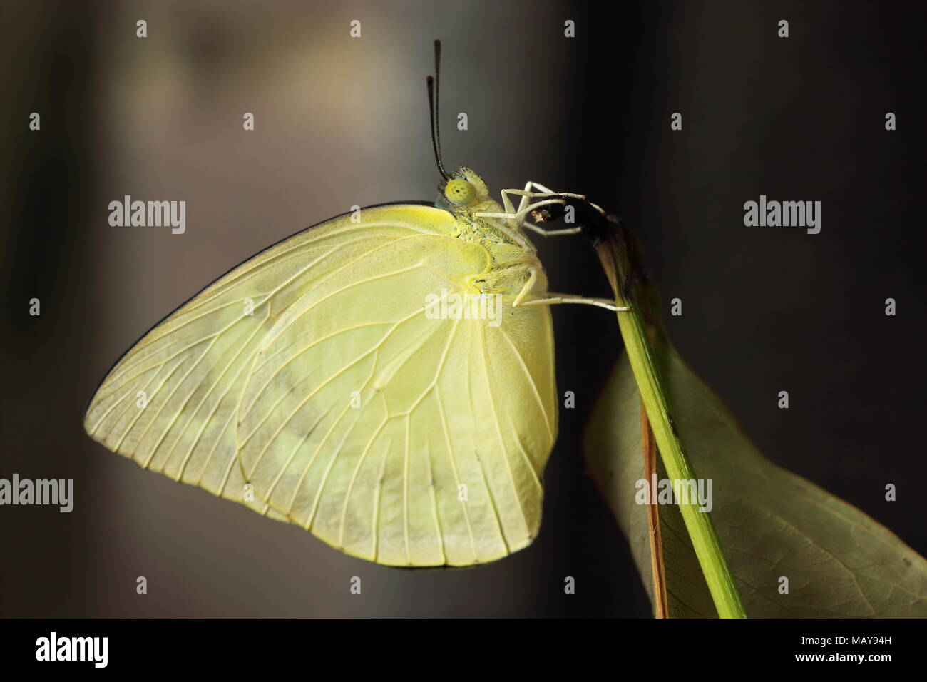 Catopsilia pomona, l'emigrante comune o di limone emigrante butterfly dopo eclosion Immagini Stock