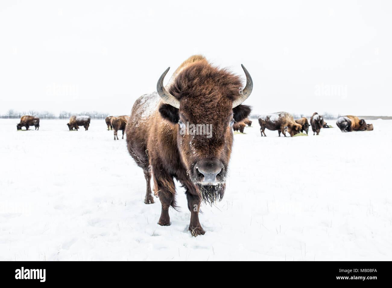Mandria di pianura, Bison (Bison bison bison) o bufalo americano, in inverno, Manitoba, Canada. Immagini Stock