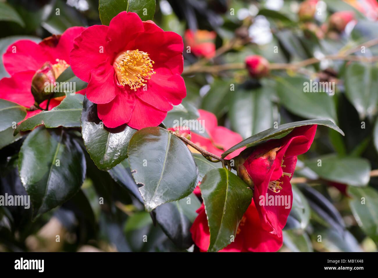Arbusto Boschivo Dai Fiori Gialli.Singola Molla Rosso Dei Fiori Di Hardy Arbusto Sempreverde