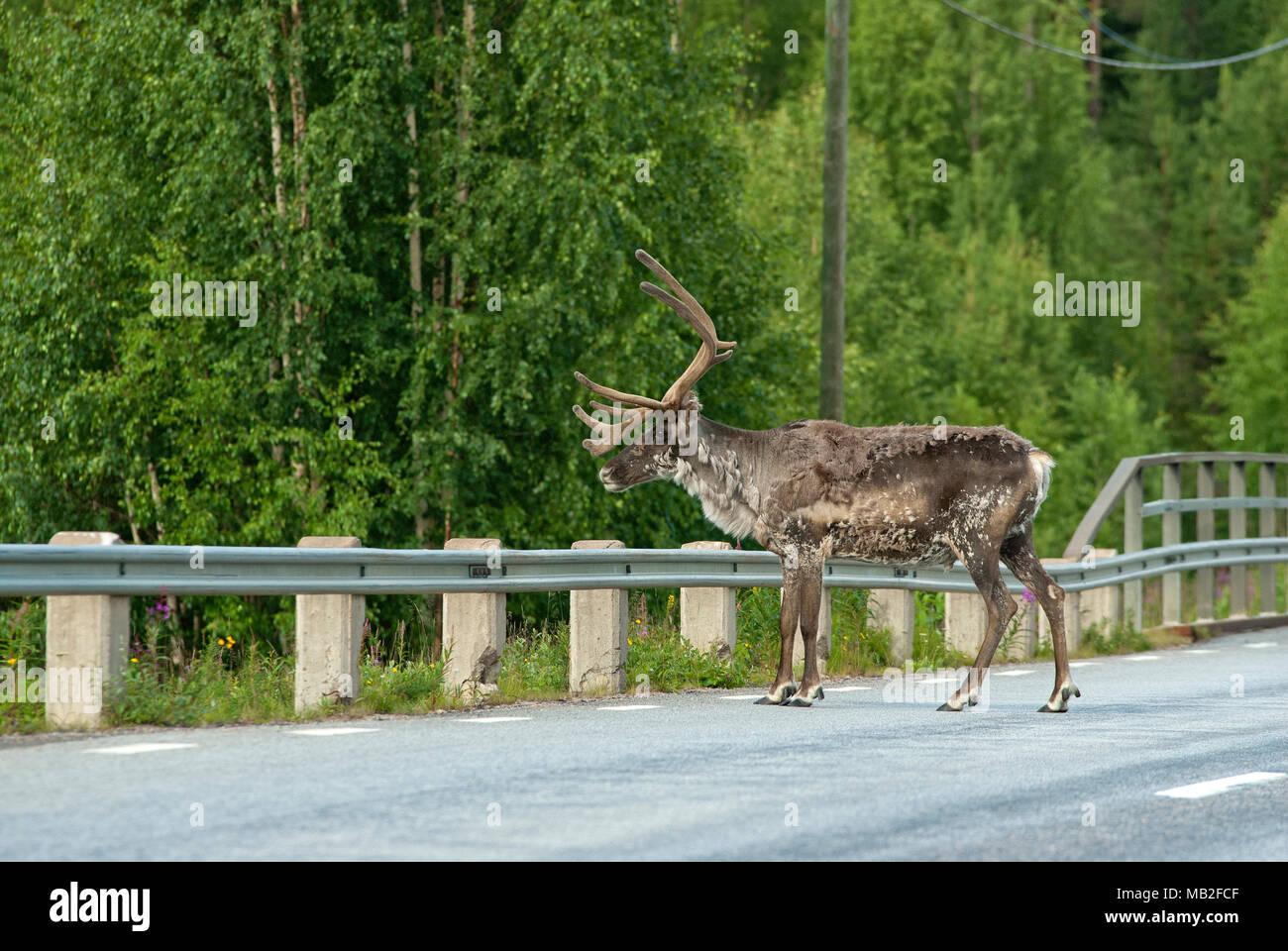Maschio (renna Rangifer tarandus) sulla strada, Lapponia, Svezia Immagini Stock