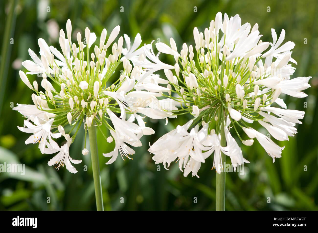 Agapanthus bianco le teste dei fiori Foto Stock