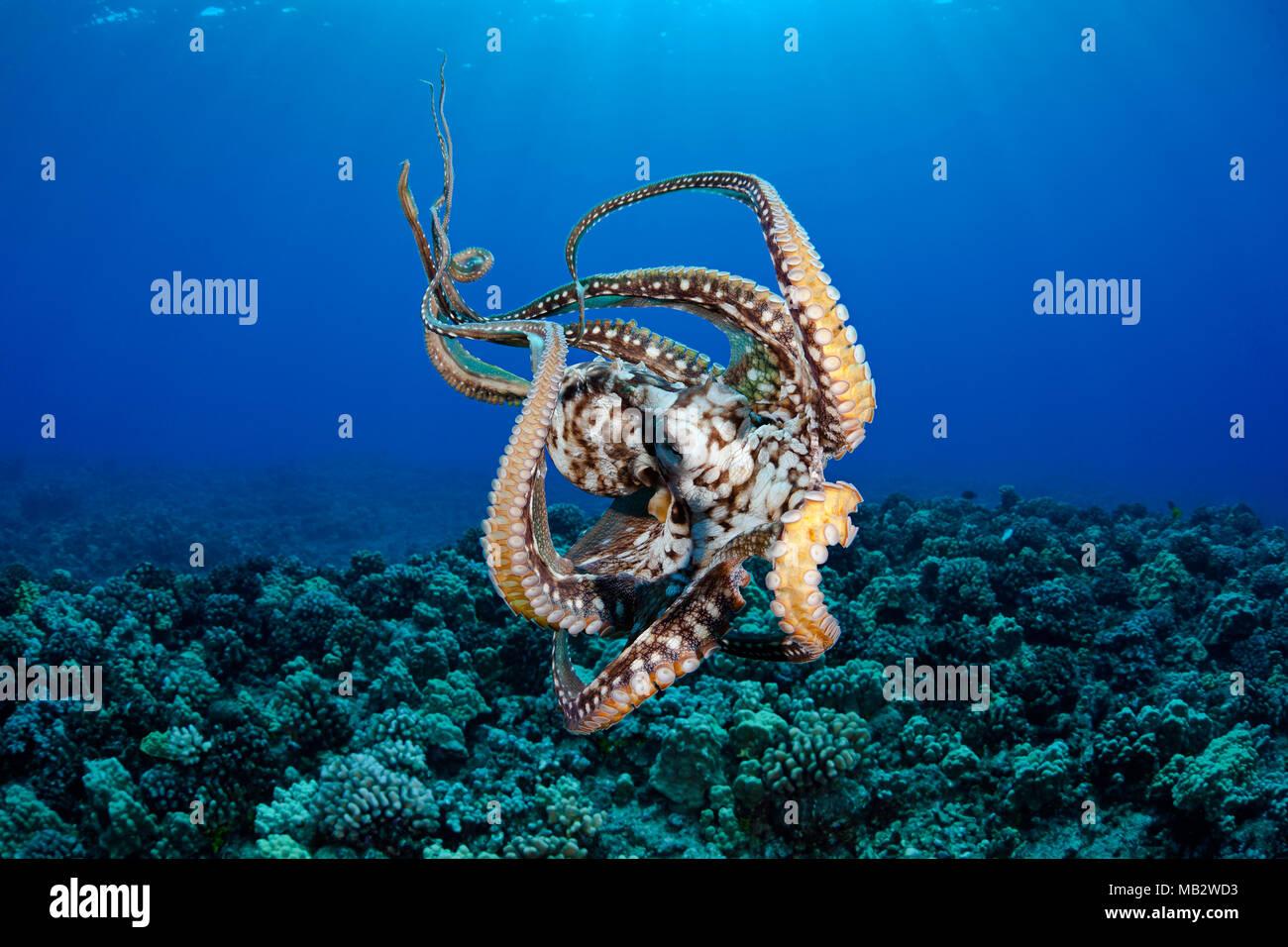 Questa vista mostra le ventose su questo otto cefalopodi armati. Giorno di polpo, Octopus cyanea, Hawaii. Immagini Stock