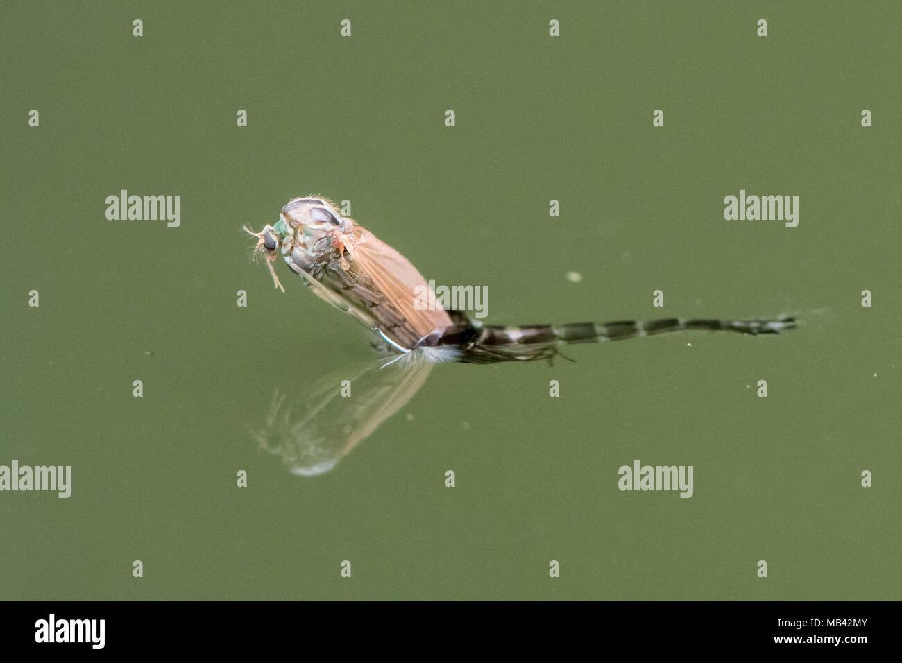 Midge (Chironomus plumosus) emergente dalla pupa. Imago femmina di non mordere midge nella famiglia Chironomidae Immagini Stock