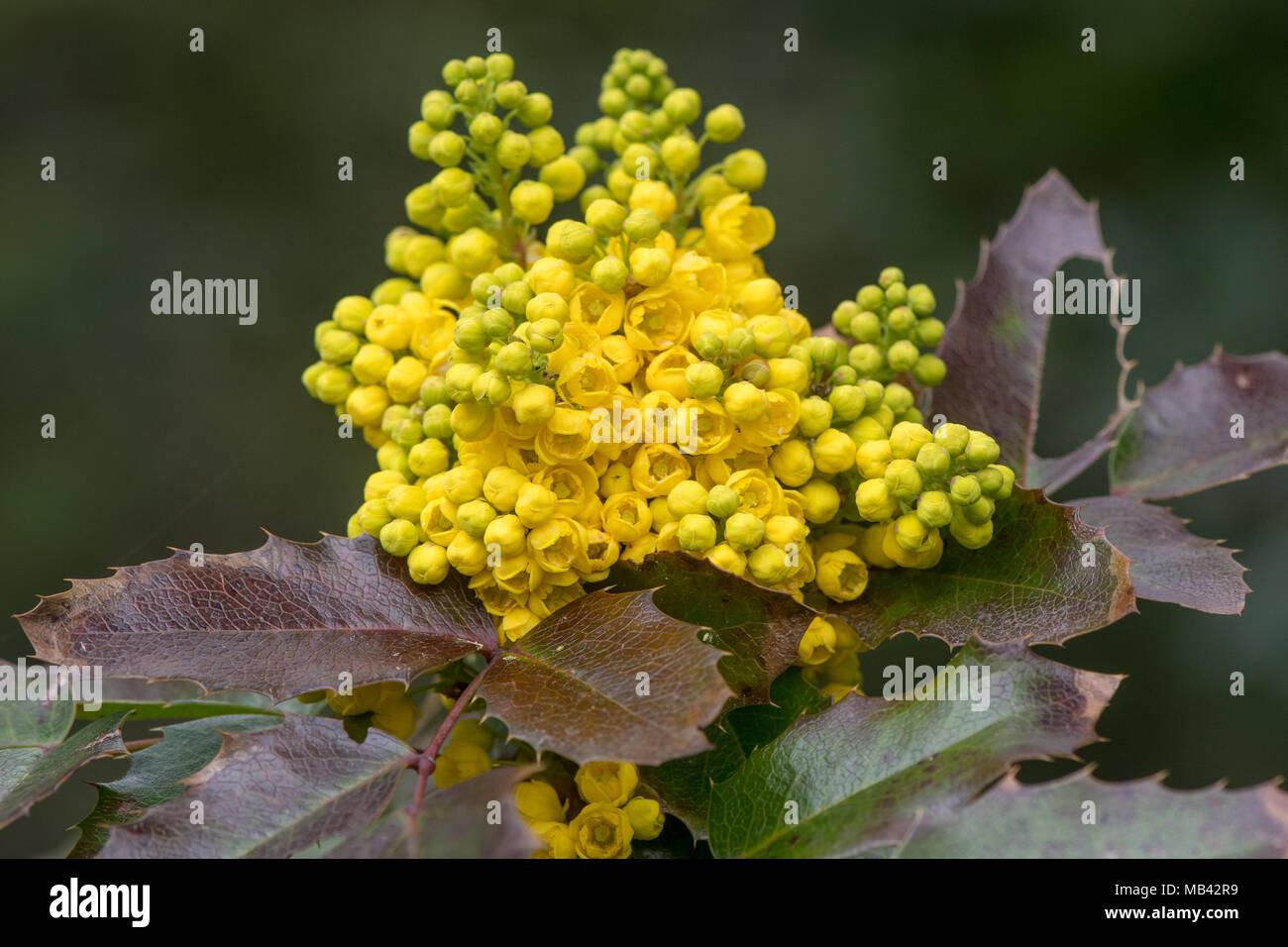 Fiori Gialli A Grappolo.Oregon Uva Mahonia Aquifolium In Fiore Grappolo Di Fiori Gialli