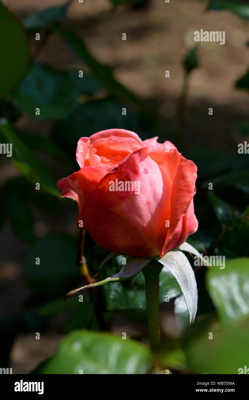 Close-up di un bel rosa rosa, Natura, Macro Immagini Stock