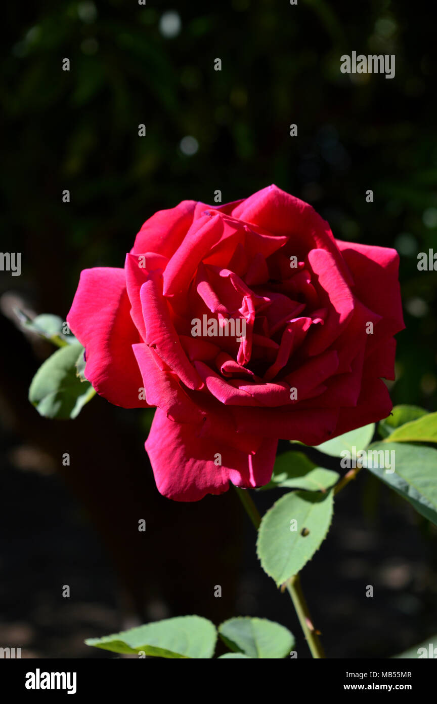 Close-up di una bella rosa rossa, Natura, Macro Immagini Stock