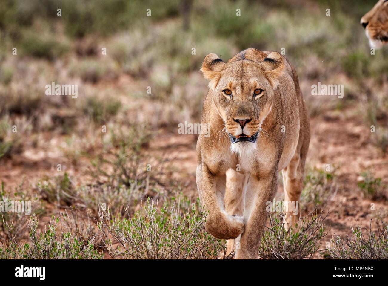 Leonessa, Panthera leo, il roaming attraverso il paesaggio del Kalahari, Kgalagadi Parco transfrontaliero, Sud Africa e Africa Immagini Stock